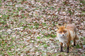 Red fox, Vulpes vulpes - PhotoDune Item for Sale