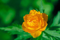 Orange flowers Trollius Asiaticus - PhotoDune Item for Sale
