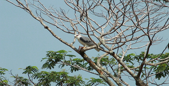 Black Shouldered Kite Elanus axillaris