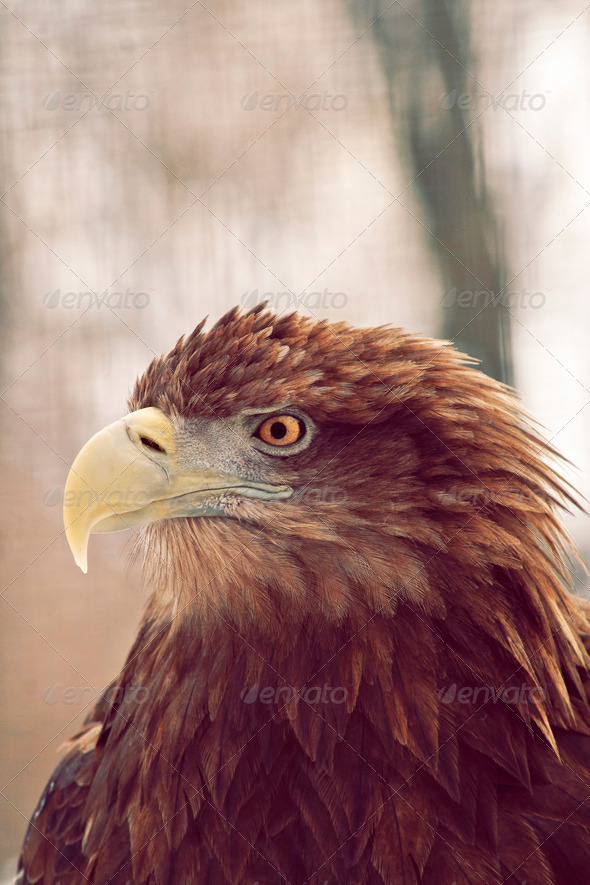 Golden Eagle In The Forest Watching - Stock Photo - Images