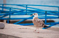 Walking Seagull - PhotoDune Item for Sale