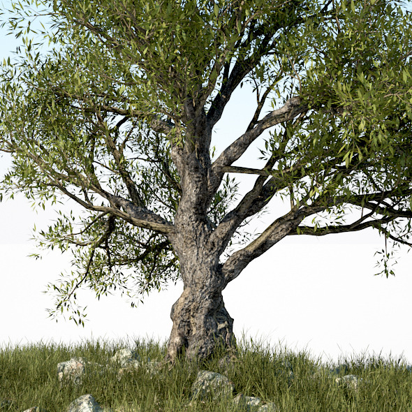 3DOcean HD Olive Tree 716796