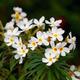 White Nerium Oleander - PhotoDune Item for Sale