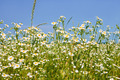 Rapid flowering of Eastern daisy fleabane plants - PhotoDune Item for Sale