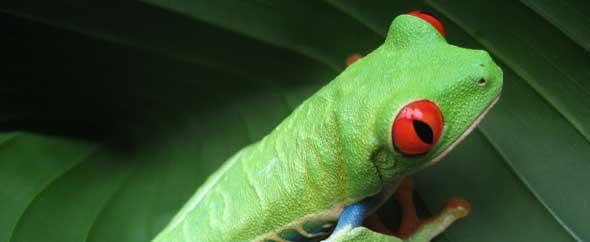 Costa-rican-frog