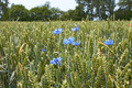 Cornflowers on the wheat field - PhotoDune Item for Sale