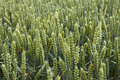 Green ripening wheat ears close-up - PhotoDune Item for Sale