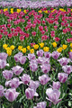Field of tulips - PhotoDune Item for Sale