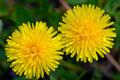 Two flowers of a dandelion - PhotoDune Item for Sale