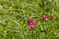 Flowering of red leguminous wild plants - PhotoDune Item for Sale