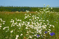 Rapid daisies flowering in a meadow - PhotoDune Item for Sale