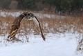 Great Horned Owl Flying - PhotoDune Item for Sale