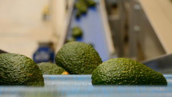 Avocados In Packaging Line