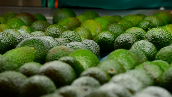Avocados Rolling In Packaging Line