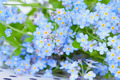 delicate blue flowers forget-me-on - PhotoDune Item for Sale