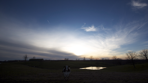 Cow Field and Sunset