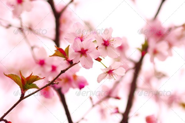 Stock Photo - PhotoDune Sakura 736265