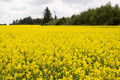 Field of rape plants - PhotoDune Item for Sale