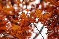 Oak Leaves - PhotoDune Item for Sale