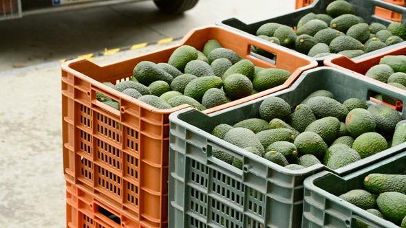 Boxes Avocados