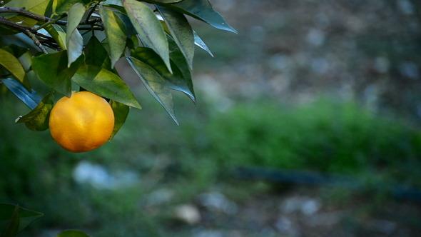 Orange In Tree