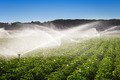 Irrigation in Field of growing potatoes - PhotoDune Item for Sale