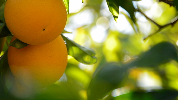 Oranges In Branch