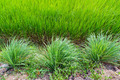 lemongrass and paddy field