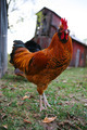 Rooster strutting in barnyard - PhotoDune Item for Sale