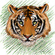 Tiger Sketch - GraphicRiver Item for Sale