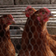 Chickens - VideoHive Item for Sale
