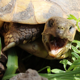 Land Tortoise - VideoHive Item for Sale