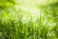 June green grass flowering - PhotoDune Item for Sale