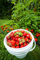 Pail of fresh strawberries in garden - PhotoDune Item for Sale