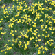 Jonquil, Narcissus jonquilla - PhotoDune Item for Sale