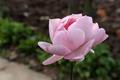 Pink Rose - PhotoDune Item for Sale