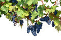 Vineyard isolated on white - PhotoDune Item for Sale