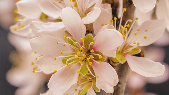 Apricot Flower Blooming