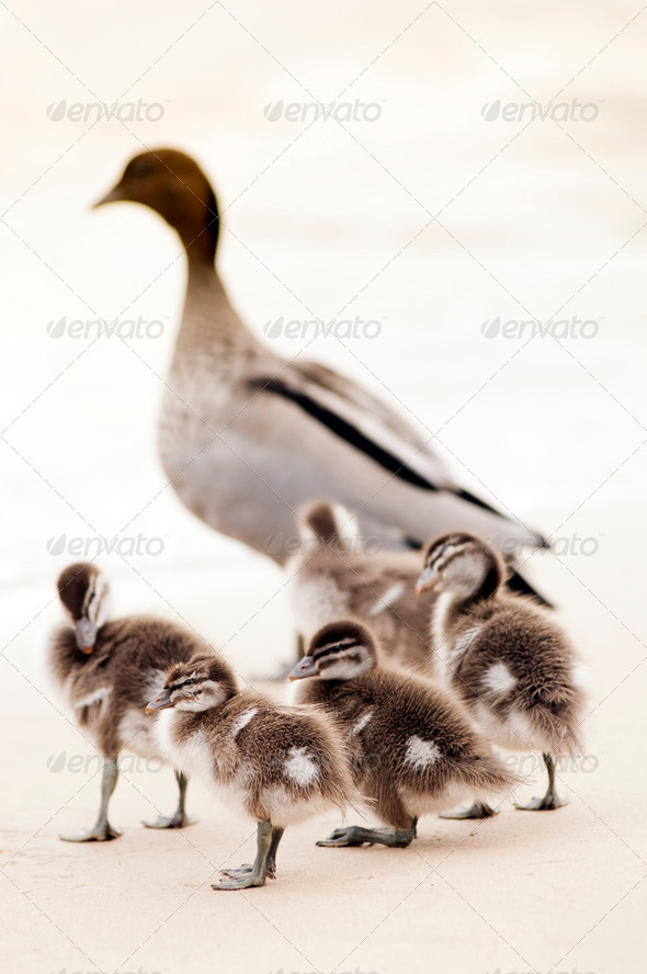 Ducklings - Stock Photo - Images