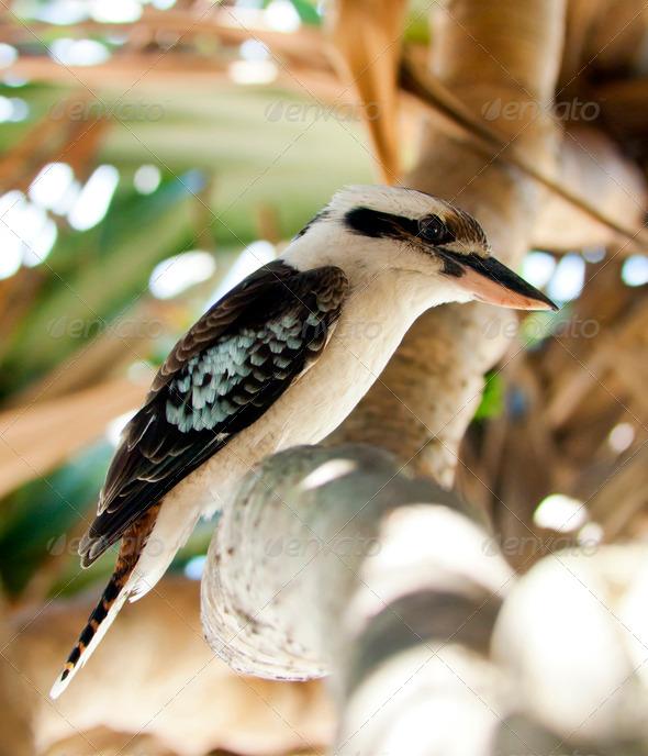 Kookaburra - Stock Photo - Images