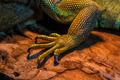 Guana lizard - PhotoDune Item for Sale