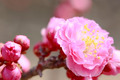 UME Japanese plum-blossom - PhotoDune Item for Sale