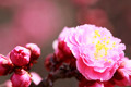 UME Japanese plum-blossom - PhotoDune Item for Sale