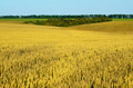 Golden wheat field - PhotoDune Item for Sale