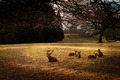 Herd of Red Deer Resting - PhotoDune Item for Sale