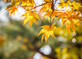 Yellow maple leaves in autumn - PhotoDune Item for Sale