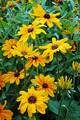 Black eyed susan flower garden - PhotoDune Item for Sale