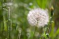 Western Salsify - Tragopogon dubius - PhotoDune Item for Sale