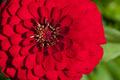 Chrysanthemum flower in a garden - PhotoDune Item for Sale