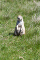 Black-tailed Prairie Dogs - PhotoDune Item for Sale